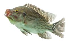 Mozambique Tilapia Profile Shot Isolated On White - stock photo