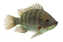 Mozambique Tilapia Profile Shot Isolated On White - stock photo
