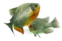 Mozambique Tilapia Chasing A Tambaqui Fish Live Animals Focus On Tilapia Stock Photos