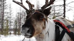 Reindeers 9 Stock Footage
