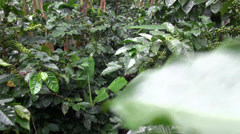 Coffee Plants, Plantations, Farms, Nature Stock Footage