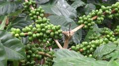 Coffee Plants, Plantations, Farms, Nature Stock Footage