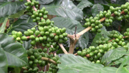 Stock Video Footage of Coffee Plants, Plantations, Farms, Nature