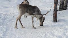 Reindeers 18 Stock Footage