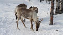Reindeers 17 Stock Footage