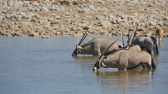 Oryx in waterhole Stock Footage