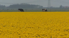 Yellow tulip field with Holstein-Friesian dairy cattle in background Stock Footage