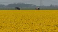 Stock Video Footage of Yellow tulip field with Holstein-Friesian dairy cattle in background