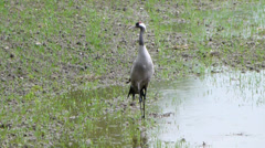 Common Crane - (Grus grus) 3 Stock Footage