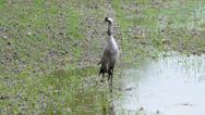 Stock Video Footage of Common Crane - (Grus grus) 3