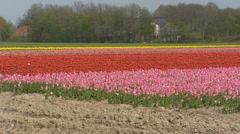 Tulip fields in Holland under a protective layer of straw + pan landscape Stock Footage
