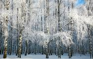 Stock Photo of russian winter in sunny birch grove