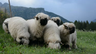 Stock Video Footage of Flock of grazing blacknose sheep