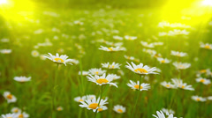 Field of daisies at sunset Stock Footage