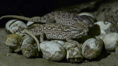 Chameleon birth Stock Footage