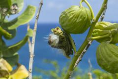 Apple of Sodom growing near seaside in Barbados - stock photo