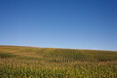 Corn field Kuvituskuvat