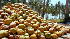 coconut farm - stock footage