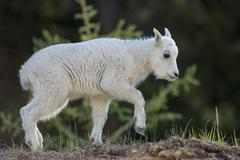 Stock Photo of young mountain goat (Oreamnos americanus) on the move