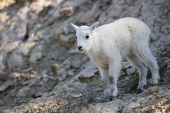 Stock Photo of young mountain goat (Oreamnos americanus)