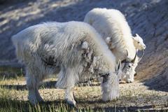Stock Photo of three mountain goats (Oreamnos americanus) grazing