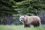 Stock Photo of Canada, Alberta, Jasper and Banff National Park, Young Grizzly bear