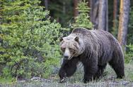 Stock Photo of Canada, Alberta, Jasper and Banff National Park, Male Grizzly bear