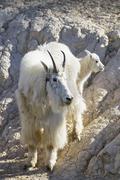 Stock Photo of mountain goat (Oreamnos americanus) with child
