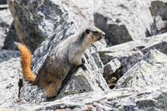 Yoho Nationalpark, Hoary marmot (Marmota caligata) - stock photo