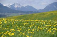 Stock Photo of Germany, Bavaria, East Allgaeu, Hopferau, view to flowering dandelions