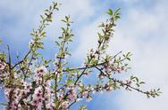 Stock Photo of blossoms of almond tree (Prunus Dulcis)