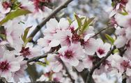 Stock Photo of Germany, Rhineland-Palatinate, blossoms of almond tree (Prunus Dulcis)