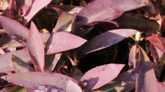Water dripping on purple plant Stock Footage