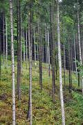 Green spruce, fir forest Stock Photos