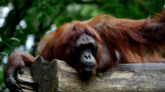 Lazy Sleepy Orang Utan Stock Footage