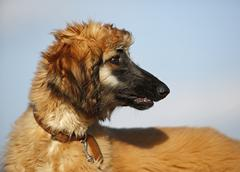 Portrait of afghan hound in front of sky, puppy Stock Photos