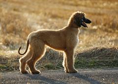 Afghan hound, puppy, standing in front of a stubble field Stock Photos