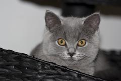 Portrait of grey British shorthair - stock photo