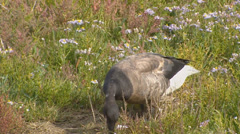 Brant goose or brent goose (Branta bernicla ) in tidal estuary - close up Stock Footage