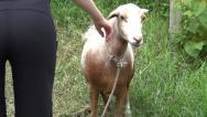 Stock Video Footage of Sheep, Lambs, Livestock, Farm Animals