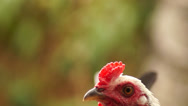 Stock Video Footage of Young Rooster Crows