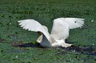 Stock Photo of A white swan in the Danube Delta Biosphere Reserve