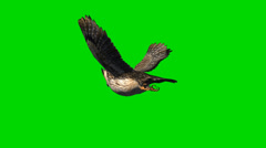 owl in glide flight - separated on green screen - stock footage