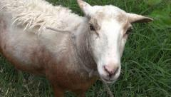 Sheep, Lambs, Livestock, Farm Animals Stock Footage