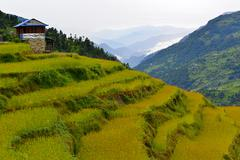 Terraced rice field ready for harvesting in the Himalayas, Nepal Stock Photos