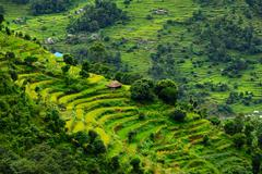 Terraced rice field ready for harvesting in the Himalayas, Nepal - stock photo