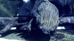 Blowfish Twisting - stock footage