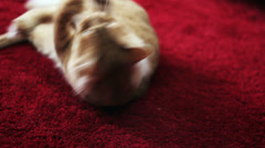 Cute Yellow Cat Playing with a Toy - Over Red Carpet Stock Footage