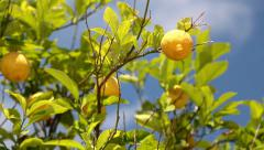Lemon tree with green leafs Stock Footage