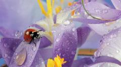 Ladybird on flower crocus close up Stock Footage